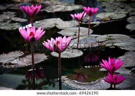 A pink water lily - stock photo