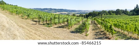 A Pinot Noir Vineyard in the Willamette Valley Oregon - stock photo
