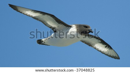 A Pintado Petrel effortlessly glides by while foraging for food in the deep cold Southern Ocean between South Georgia and the Antarctic. - stock photo