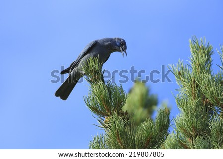 Pinyon Pine Stock Photos, Royalty-Free Images & Vectors - Shutterstock