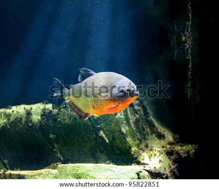 A piranha fish in clear water - stock photo