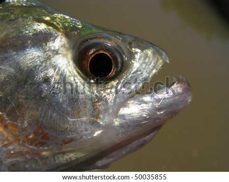 A piranha or piraña is a member of family Characidae in order Characiformes of omnivorous freshwater fish that live in South American rivers