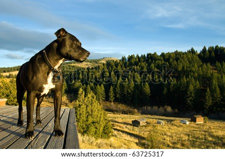 A Pit Bull Terrier stands watch on a wooden deck at a country house. - stock photo