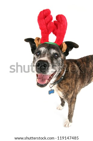 a pit bull with reindeer horns on celebrating the holiday season of christmas - stock photo