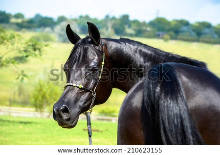 A pitch black arab mare looking back, pretty horse - stock photo