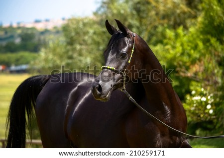 a pitch black horse, a arab mare head shot looking for her foal