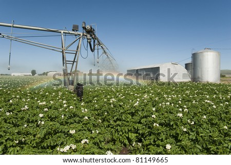 A pivot irrigation system waters a field of potatoes.