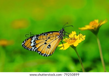 a plain tiger butterfly perching on a flower