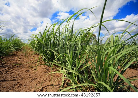a plantation of young  sugar cane growing - stock photo