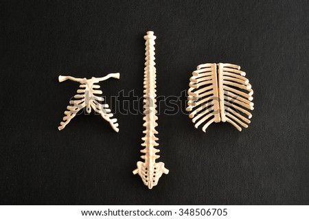 A plastic model of a human spine isolated on a black background