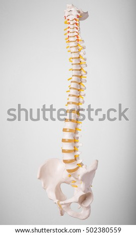 A plastic model of a human spine on a grey background