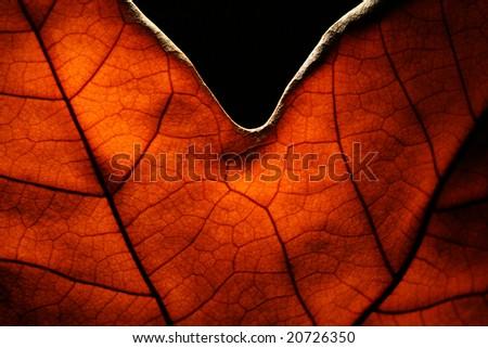 A platan leaf - stock photo
