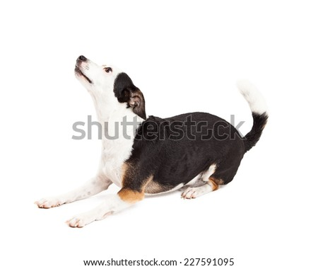 A playful Chihuahua and Terrier Mixed Breed Dog laying at an angle while looking up.  - stock photo