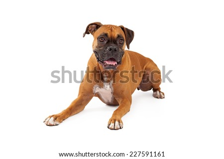 A playful looking Boxer Dog laying while looking forward.