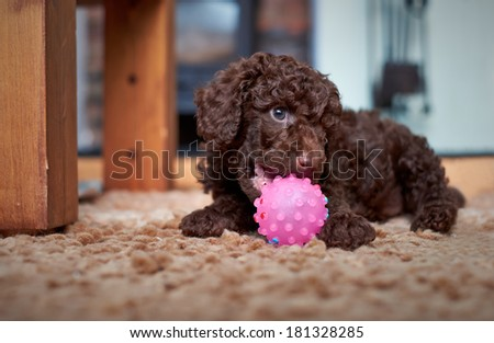 A playful miniature poodle puppy with a pink ball. - stock photo