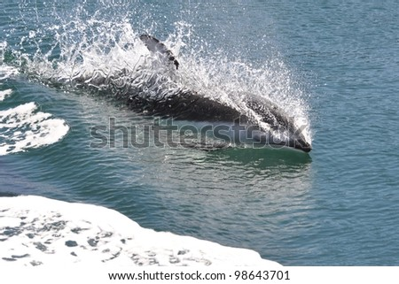 A playful Pacific white-sided dolphin rides the wake of a boat. - stock photo