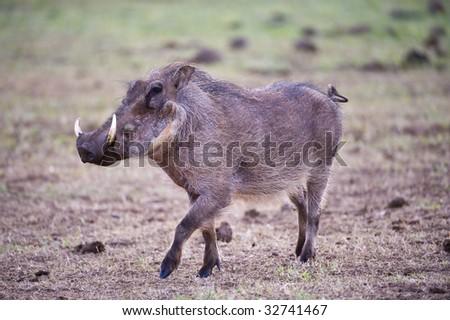 A playful Warthog dances on the plain - stock photo