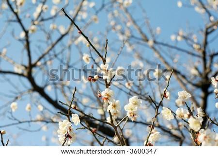 a plum tree - stock photo