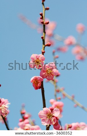 a plum tree - stock photo
