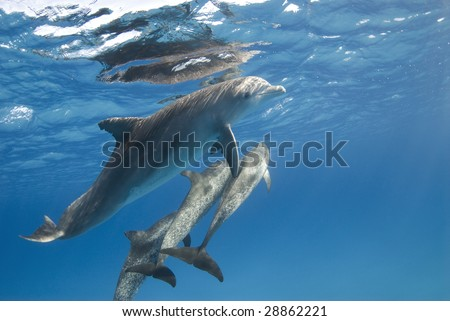 A pod of Atlantic Spotted Dolphin (Stenella frontalis) head to the surface while playing. - stock photo