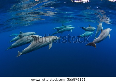 A pod of dolphin forages in the crystal clear blue waters off Reunion Island in the Indian Ocean.