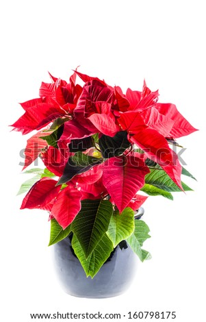 a poinsetta plant in a black flowerpot over a light background - stock photo