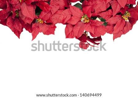 A poinsettia flower isolated on white - stock photo