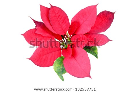 A poinsettia flower isolated on white background - stock photo