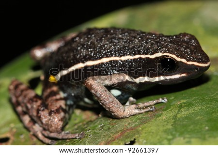 A Poison Dart Frog (Ameerega hahneli) in the Peruvian Amazon - stock photo