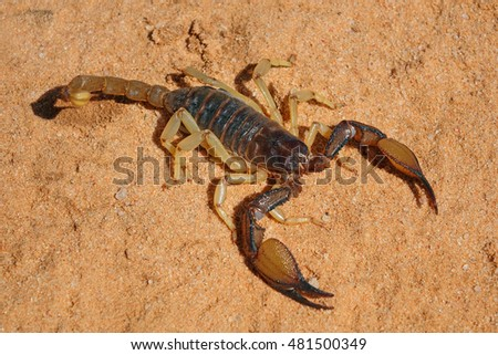 A poisonous scorpion (Parabuthus spp.), Kalahari desert, South Africa