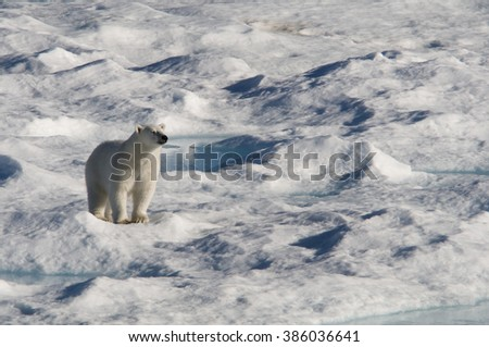 A polar bear appears to smile contentedly into the warm sun on an ice floe in Baffin Bay, Nunavut, Canada. - stock photo