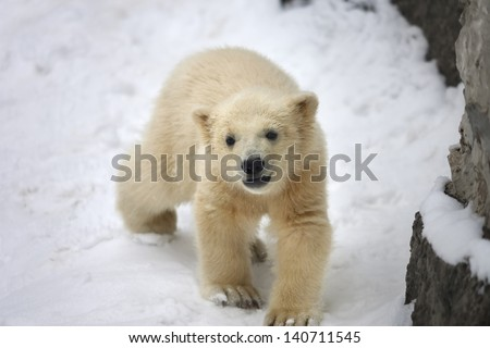 A polar bear baby, walking on fresh snow. - stock photo