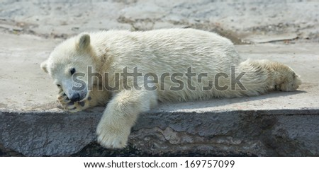 A polar bear cub is resting. The cute and cuddly animal baby, which is going to be the most dangerous and biggest beast of the world. Careless childhood of a live plush teddy. - stock photo