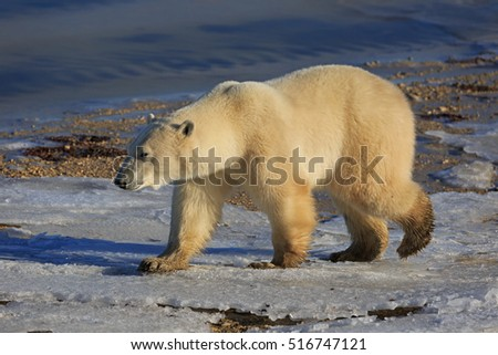 A polar bear goes on the shore of the Hudson Bay
