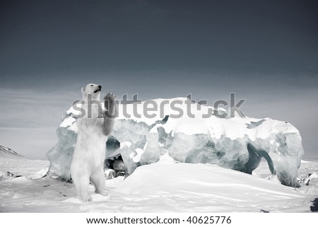 A polar bear in a wild natural setting, Svalbard, Norway - stock photo
