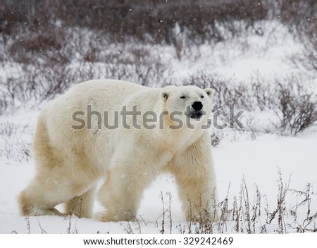 A polar bear on the tundra. Snow. Canada. An excellent illustration.