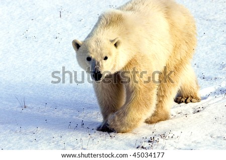 A polar bear out for a walk on the snow covered tundra - stock photo