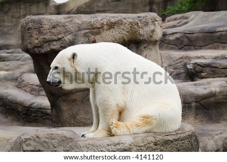 A polar bear that resides in the Cleveland Metro Park Zoo - stock photo
