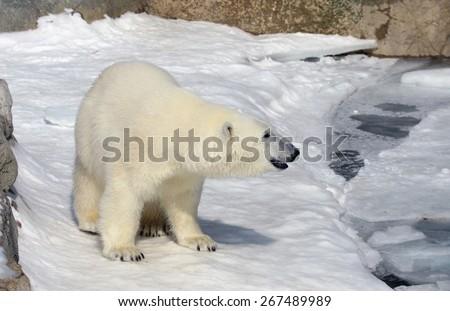 A polar bear (Ursus maritimus) at the edge of the water.  - stock photo