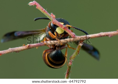 A polistes wasp hanging on a branch of a small shrub - stock photo