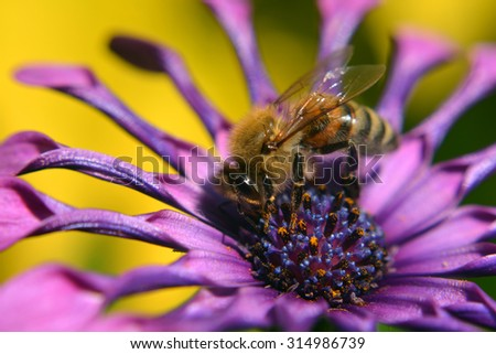 A Pollinating Bee on a Purple Flower in a Macro Closeup. - stock photo