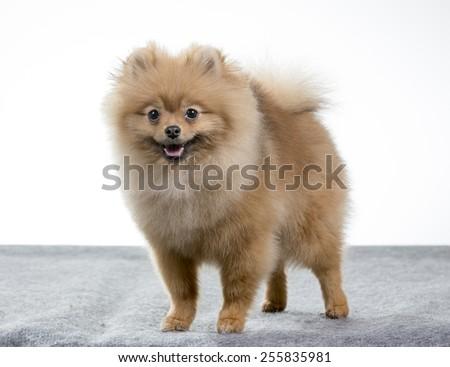 A pomeranian dog portrait, Image taken in a studio. - stock photo