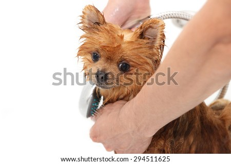 A pomeranian dog taking a shower with soap and water. Dog on white background. Dog in bath. Cute pomeranian dog - stock photo
