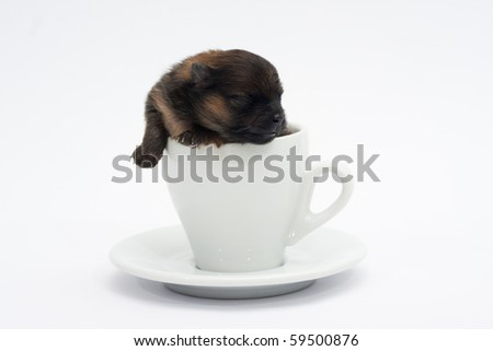 A pomeranian in a coffee cup