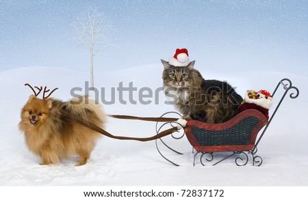 A Pomeranian wearing antlers pulls a sleigh with gifts driven by a cat wearing a Santa hat - stock photo