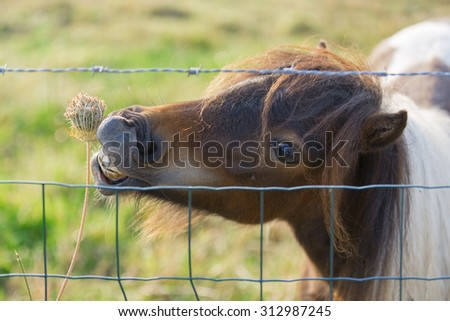 A pony behind a barbed wire fence trying to reach a weed flower in a beautiful summer morning light - stock photo