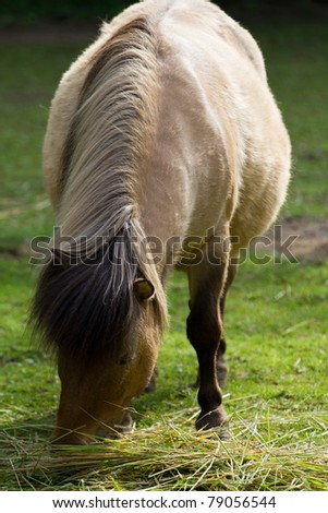 A Pony graising on grass on a summer's morning