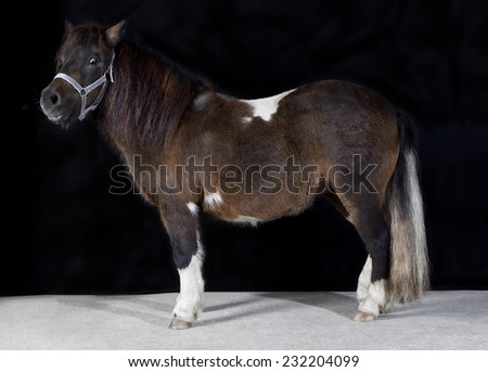 a pony with brown and white patches in studio against black background