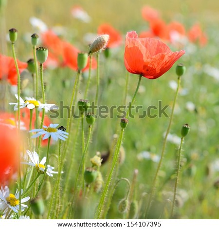 a poppy field close-up - stock photo