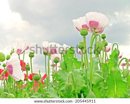 A poppy field in Lower Austria - stock photo